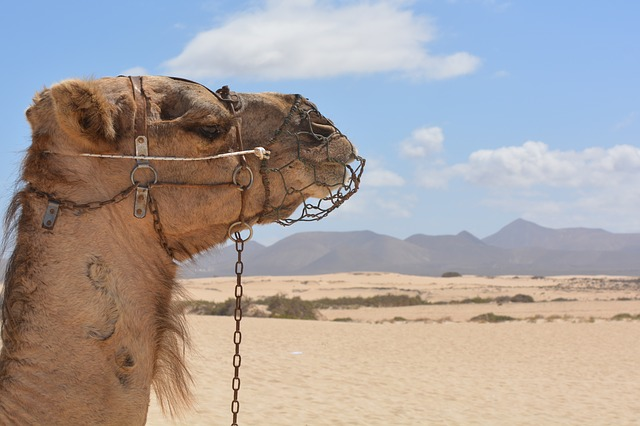 エジプト、ラクダ、砂漠