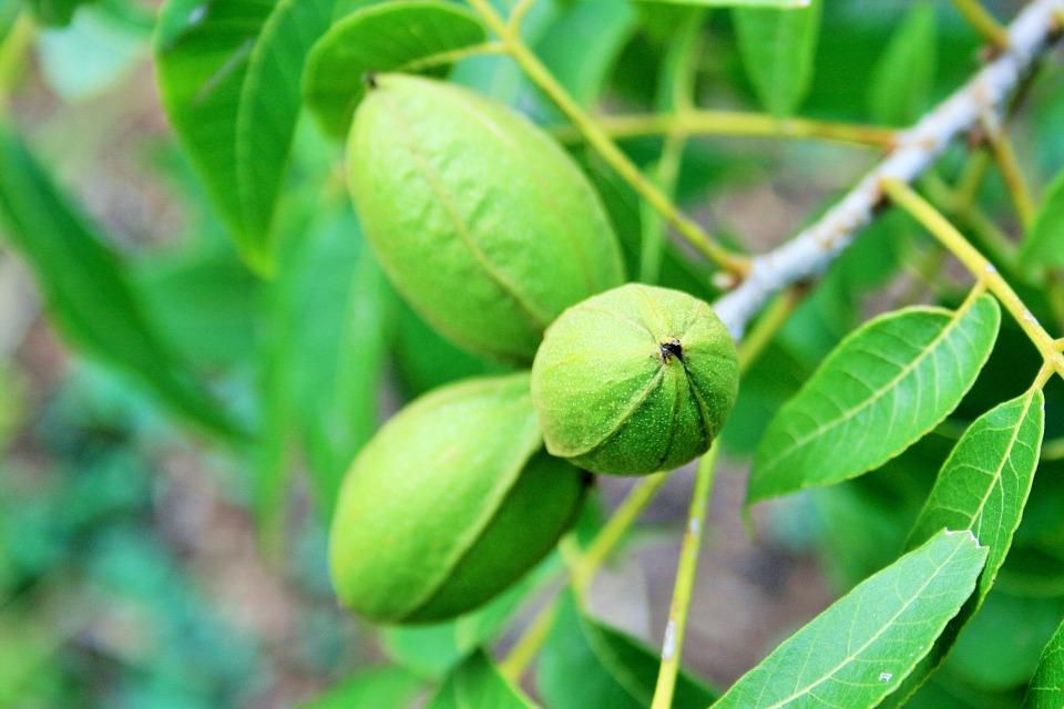 木になった状態のピーカンナッツの実