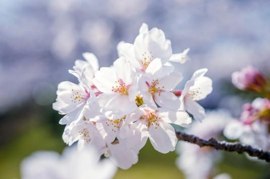 「花散らし」=「合コン」!?お花見で気をつけたい「桜言葉」の本当の意味!
