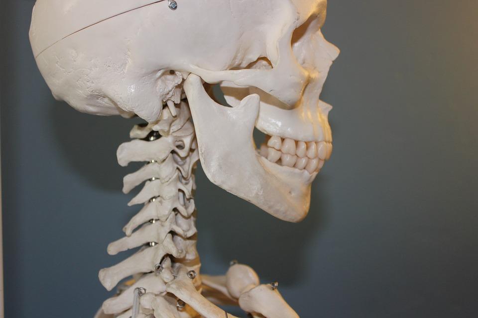 骨 骸骨 スケルトン