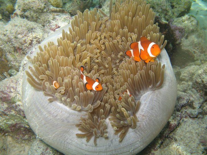 『ニモ』のモデルのお魚、「カクレクマノミ」じゃなかった!?「クラウンフィッシュ」とは?